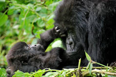 A gorilla mother and her infant