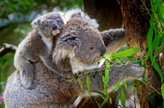 Koala mother and cub