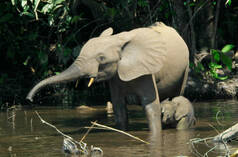 A forest elephant and calf standing in a river