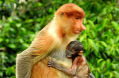 Proboscis monkey and baby
