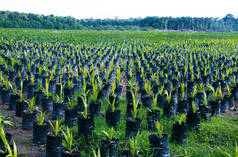 Oil palm plantation, Borneo, Indonesia