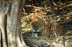 Jaguar in Mato Grosso do Sul (Brazil)