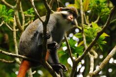 Red-eared guenon (Cercopithecus erythrotis) in Cameroon