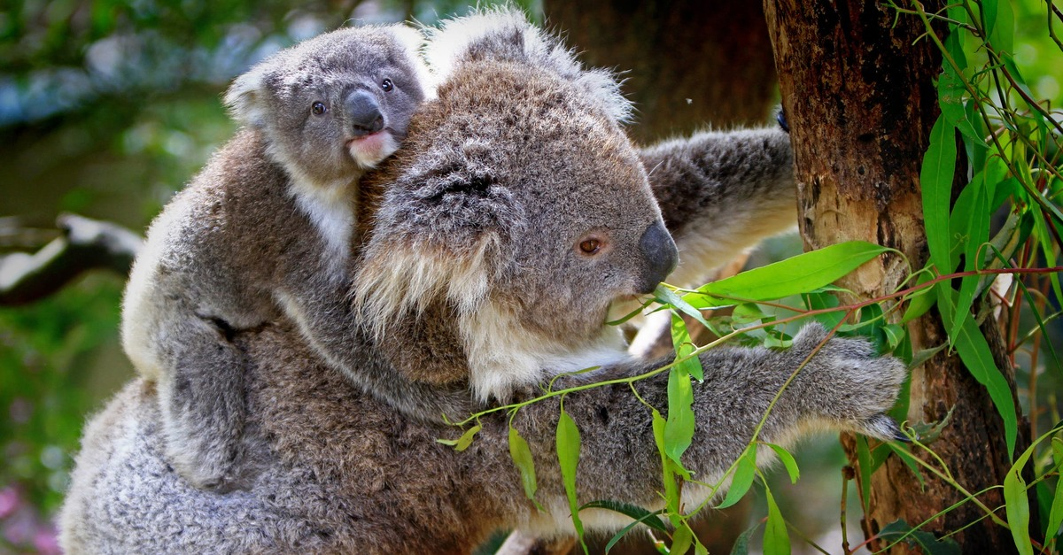 the koala s cry for help rainforest rescue  koala mother and cub