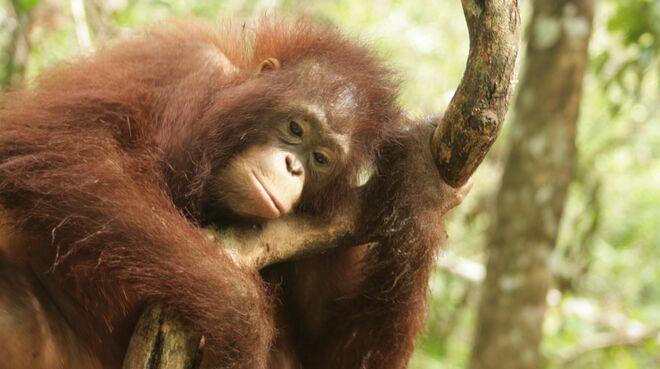 Orangutan in Central Kalimantan, Borneo
