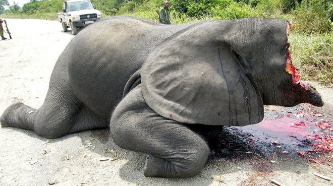 Poached elephant in Virunga National Park