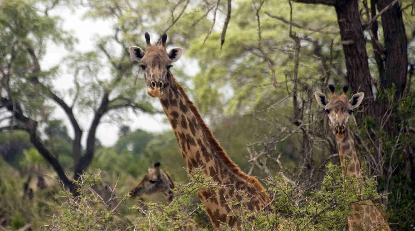 [Image] Vos images - Page 22 Masaai-giraffen-selous-game-reserve-tansania