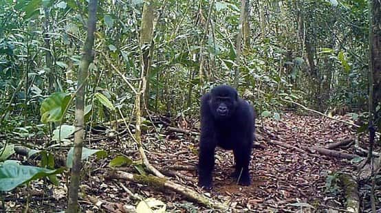 Gorilla in Ebo Forest, Cameroon