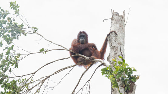 Orangutan in tree