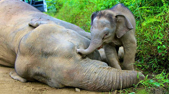 A baby elephant standing over the body of its dead mother, touching her head with its trunk