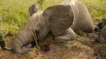 An elephant killed by poachers