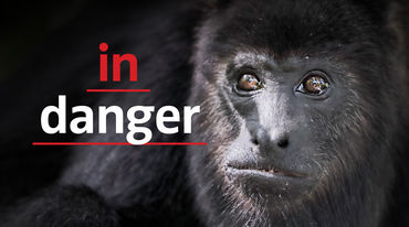 "Black howler monkey (Alouatta carayá)  with text ""in danger"""