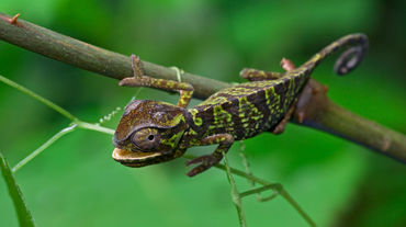 A chameleon with a green and brown pattern, clinging to a branch