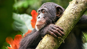 Chimpanzee in Liberia