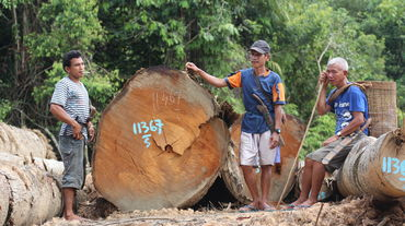 Clearing in Kinipan forest – indigenous people next to tree trunks