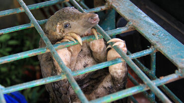 Pangolin in a cage at the Riau Natural Resource Conservation Centre, Indonesia