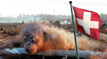 Montage: Restrained juvenile orangutan and Swiss flag