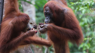 2 orangutans eating fruit