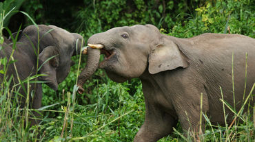 Two pygmy elephants in Sabah