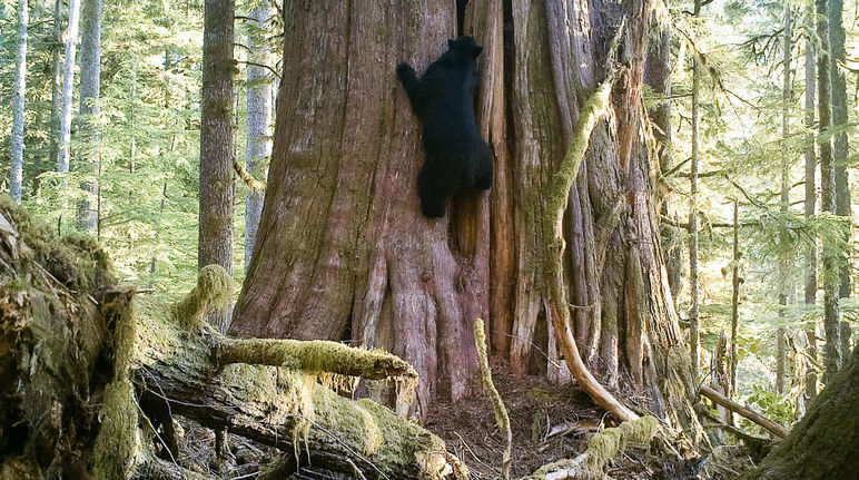 A black bear climbing a tree, Vancouver Island, British Columbia, Canada