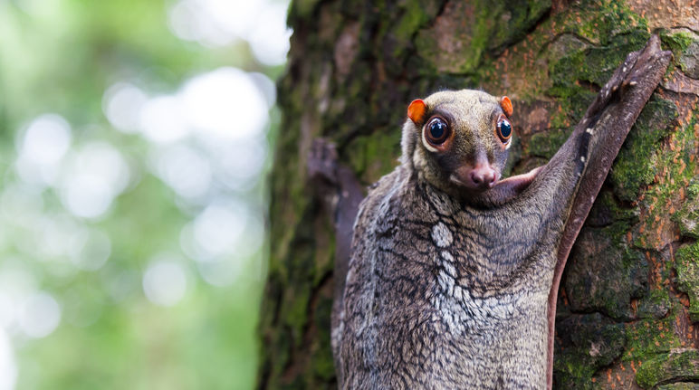 Malayan flying lemur on Borneo