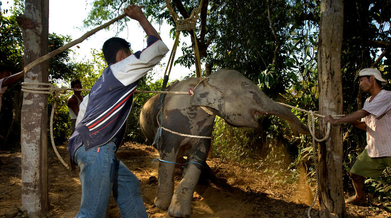 """Trainers"" beating an elephant calf"