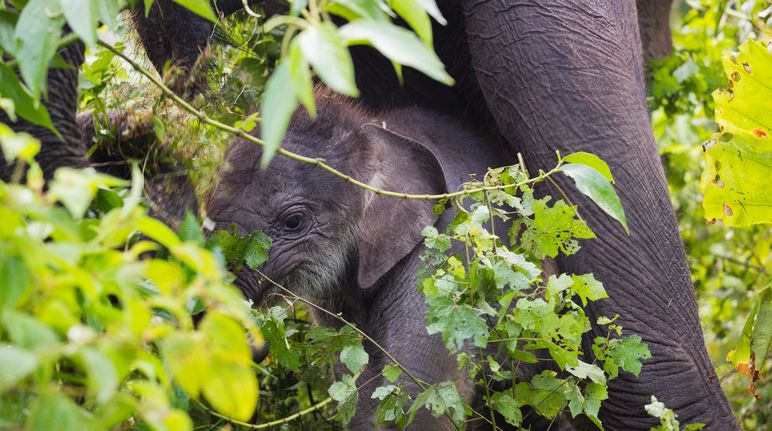 Forest elephant mother and calf in Leuser Ecosystem