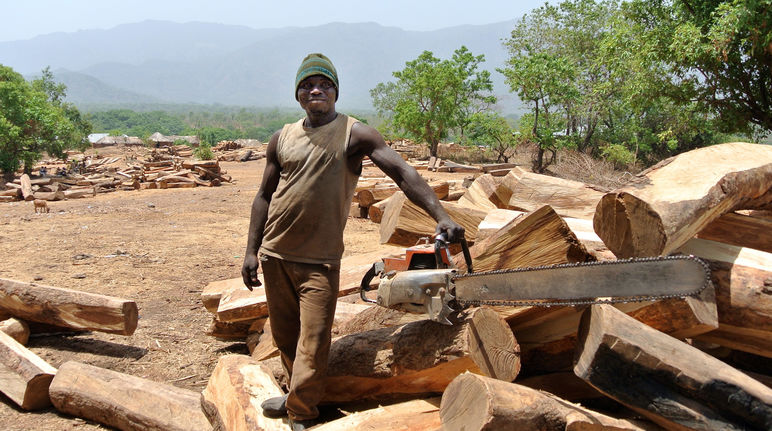 Logger with chainsaw and rosewood logs in Nigeria