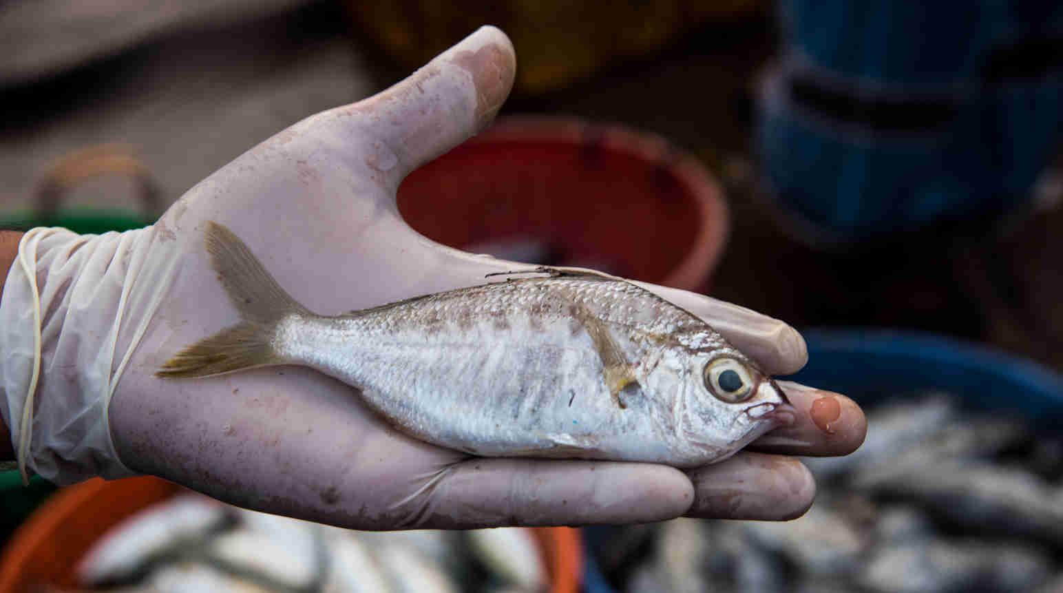 whipfin-silver-biddy