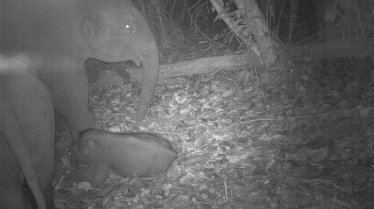 Birth of an elephant in Sabah