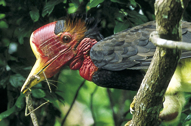 A helmeted hornbill in a tree