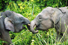 Two pygmy elephants on Borneo