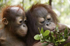 Two young orangutans in the rainforest on Sumatra, Indonesia