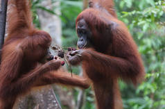 2 Orang Utan eating fruits