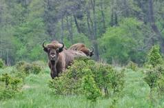 Bison in Poland's Białowieża Forest