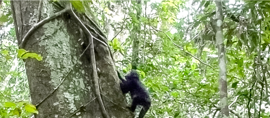 A young chimpanzee climbing a tree in the rainforest