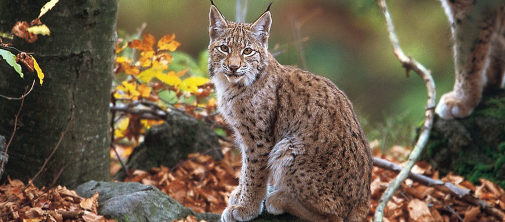 A Balkan lynx in the forest