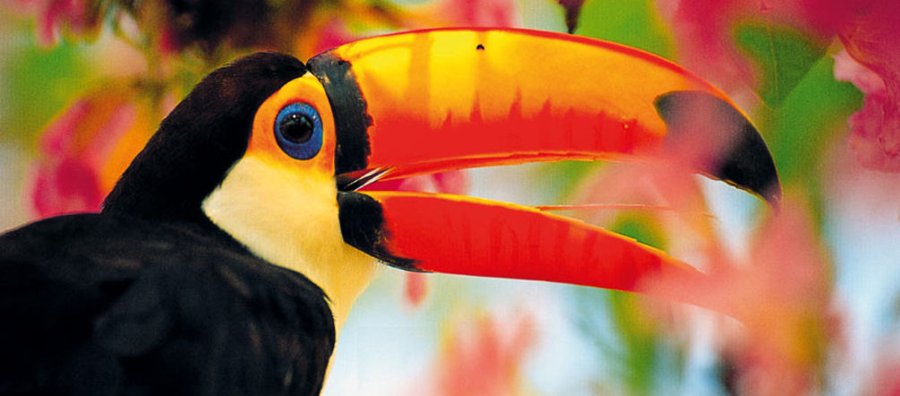A tucan in midst of colorful flowers