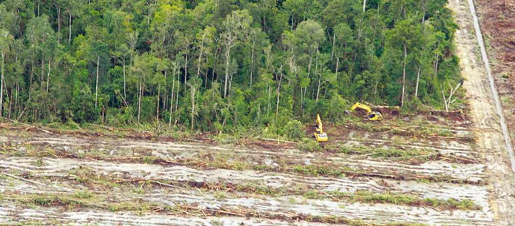 Cutting down oil palms to reclaim illegally cleared land