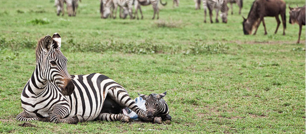 Zebra mum and baby on the Serengeti plains