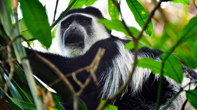 A colobus amid foliage