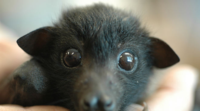 A juvenile flying fox