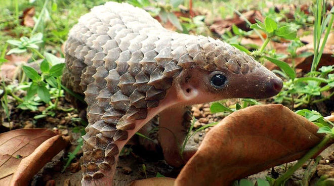 A pangolin in the forest