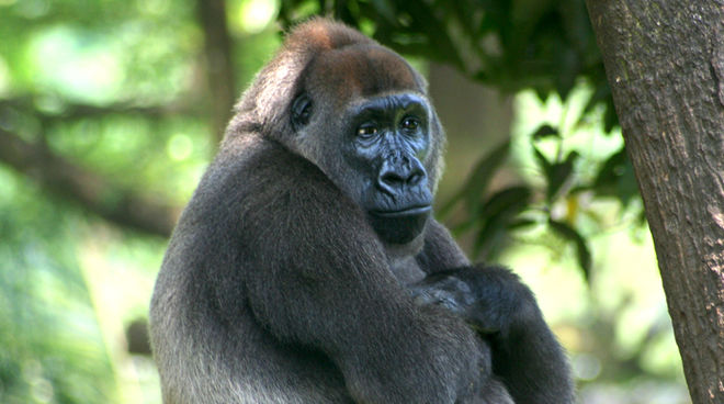 A Cross River gorilla