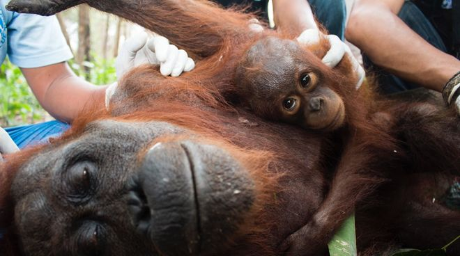 A rescued orangutan mother and child receive medical treatment