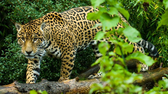 jaguars or cattle hands off the los chimalapas rainforest rainforest rescue. Black Bedroom Furniture Sets. Home Design Ideas