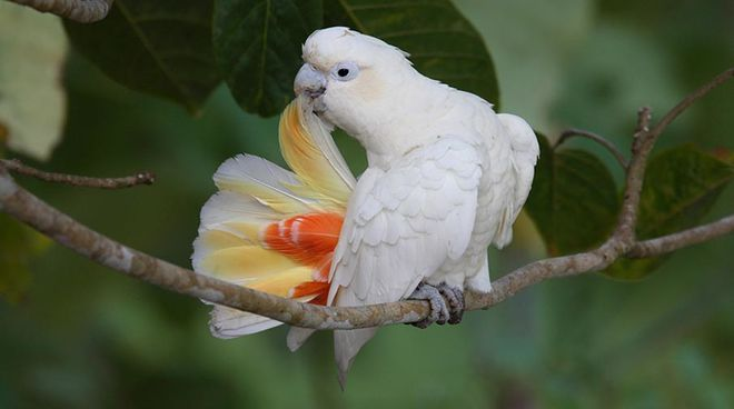 A Philippine cockatoo sitting on a tree