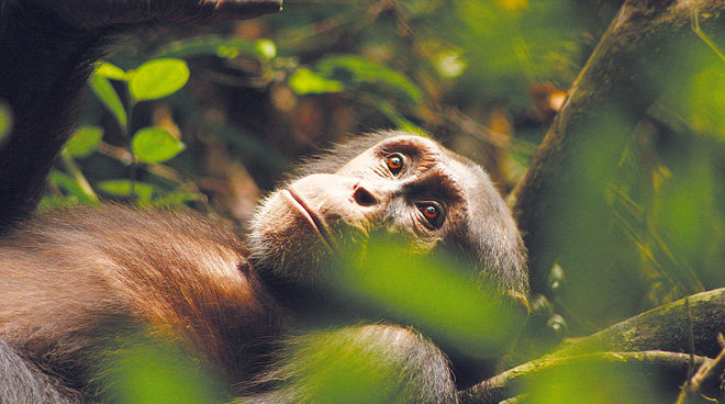 Kuba, a chimpanzee, reclining in the forest and looking upward