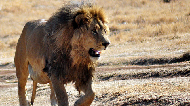 cecil the lion murdered end trophy hunting now rainforest rescue