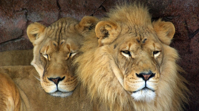 ban trophy hunting save the lions rainforest rescue